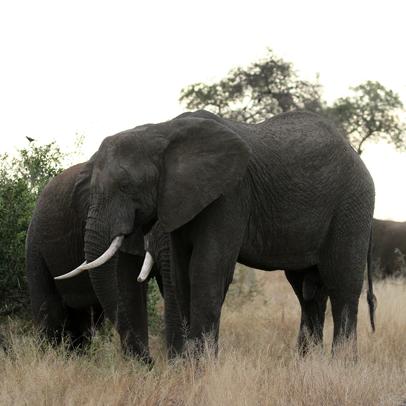 Elephant Package accommodation in kruger, overnight in Kruger, night safari in Kruger, bush walk in Kruger, safari in Africa, go on safari
