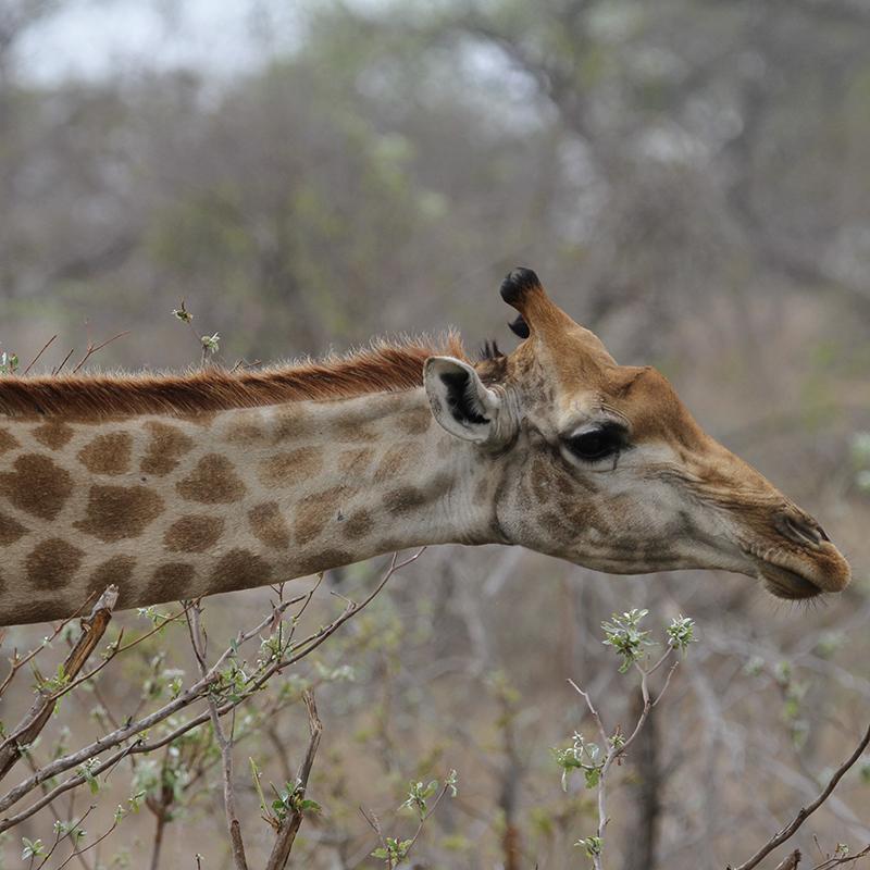 giraffe package, accommodation in Kruger, overnight in Kruger