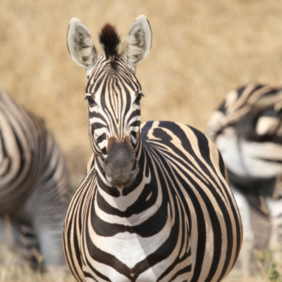 How to book a Kruger game drive, How to book a Kruger safari, How to book a Kruger safari in Africa, booking a Kruger game drive