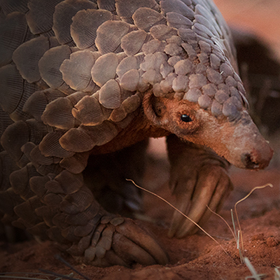Save the Pangolins | We support | Lion Roar Safaris