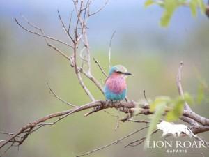 Lion Roar Safaris Birds